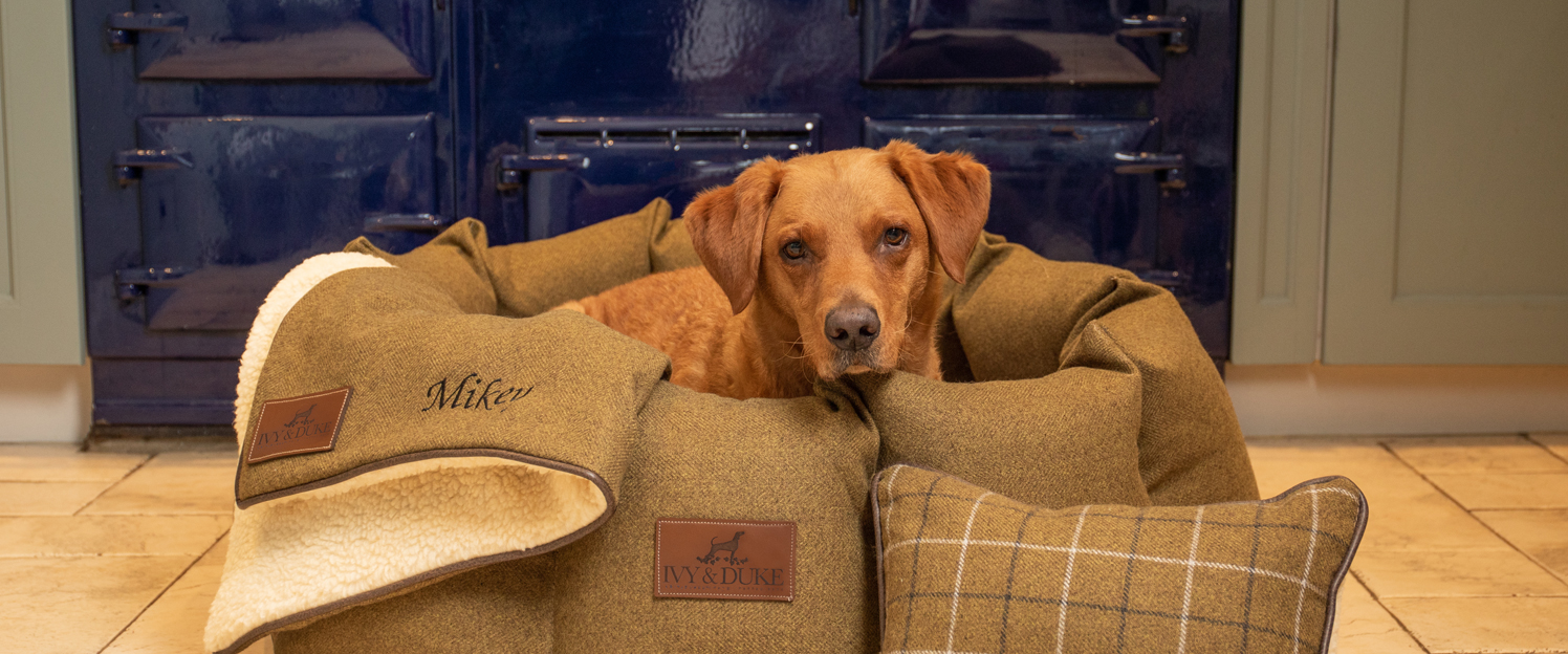 Red Fox Labrador, called Mikey looking out of an Ivy and duke country green Den dog bed with cosy dog blanket and personalised dog billow.