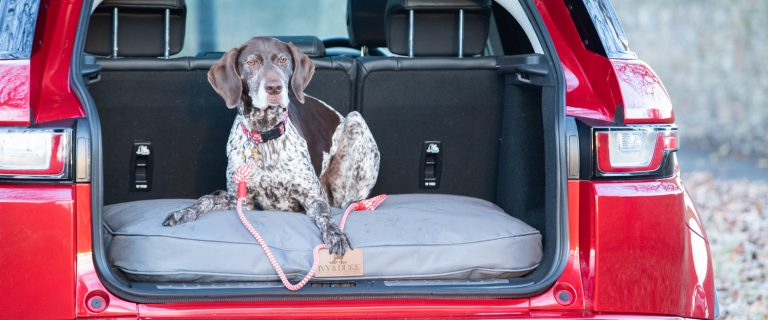 An English Pointer lying in the boot of a car on an Ivy and Duke dog waterproof Pedigree bed.