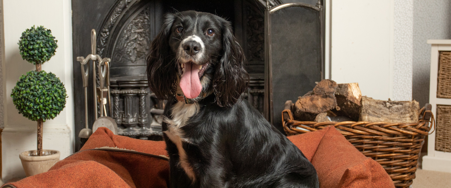 Blank Spaniel, sitting in front of beautiful fireplace in an Ivy and duke cinnamon coloured Lounger dog bed.