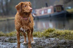 Very muddy dog walking on a mud track